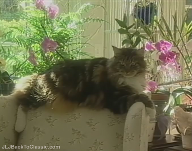 Orchid-Maine-Coon